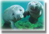A pair of Manatee